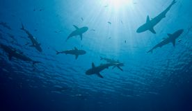 Sharks royalty free stock photo