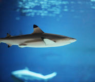 Sharks Royalty Free Stock Photos