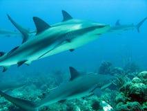Sharks Royalty Free Stock Photography
