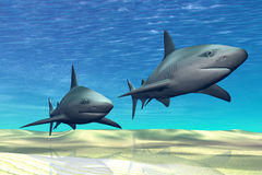 Sharks. Two sharks on patrol over a sandy reef Royalty Free Stock Photo