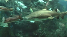 Sharks in the aquarium stock footage