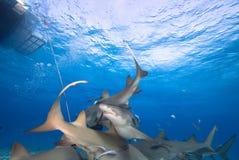 Sharks Royalty Free Stock Photo