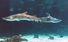 Sharks on exibit at a Zoo. Royalty Free Stock Images