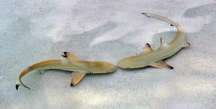 Sharks facing-off stock image
