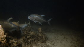 Sharks and fishes underwater stock footage