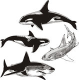 Sharks and killer whales Stock Images