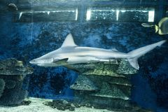 Shark in the aquarium royalty free stock image