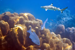 Sharks over a coral reef at ocean Royalty Free Stock Images