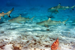 Sharks over a coral reef at ocean Stock Images