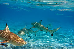 Sharks over a coral reef at ocean Royalty Free Stock Photos