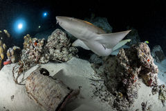 Sharks ray and fish in night diving Royalty Free Stock Photography