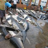 Sharks and rays slaughtered in fish market of Negombo Sri Lanka. Hundreds of sharks, manta rays and dolphins were killed and sold in the fish market of Negombo stock photos
