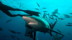 Sharks and scuba divers Stock Image