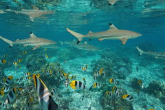 Sharks with shoal of fish underwater Pacific ocean. Blacktip reef sharks with a shoal of tropical fish Pacific double-saddle butterflyfish underwater in a lagoon Stock Photography