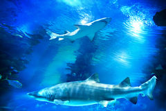 Sharks and small fish in aquarium Royalty Free Stock Photo
