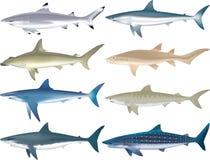 Free Sharks Species Stock Photos - 42395313