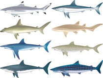 Sharks Species. Illustrations of multiple shark species Stock Photos
