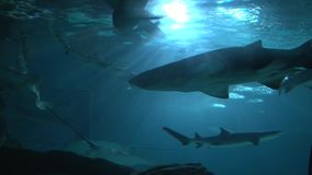 Sharks and Stingrays swimming in large aquarium. Low angle stock video footage