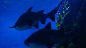 Sharks swimming in aquarium water. Two huge sharks swimming near rock and seaweed in blue water. Marine underwater. Tropical exotic life natural background stock footage