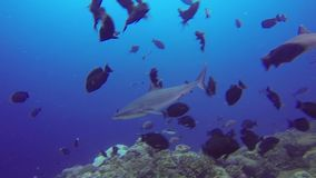 Sharks swimming in ocean over the coral reef stock footage