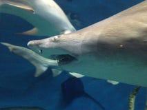 Sharks swimming in water at an aquarium. Sharks swimming in water at an aquarium with other fish Royalty Free Stock Photos