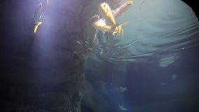 Sharks swims in tropical waters. Shark swimming underwater in the oceanarium. Underwater marine life and wild animals. Fascinating underwater diving with reef stock video