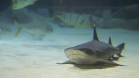 Sharks swims in tropical waters. Shark swimming underwater in the oceanarium. Underwater marine life and wild animals. Fascinating underwater diving with reef stock video footage
