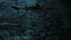 Sharks in tank at aquarium stock video footage