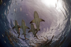 Sharks of Tiger Beach Stock Photos