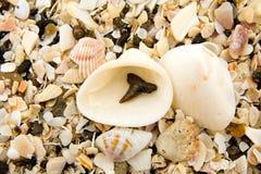 Sharks Tooth. Fossilized shark tooth on Caspersen Beach, Venice, Florida Royalty Free Stock Photo