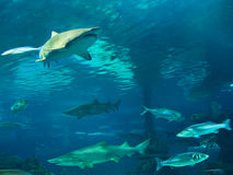 Sharks underwater Royalty Free Stock Photos