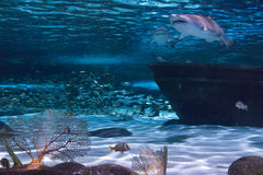 Sharks and Wreckage. Wreckage and sharks in an aquarium Royalty Free Stock Photography