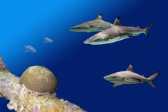Sharks2Reef Royalty Free Stock Photo