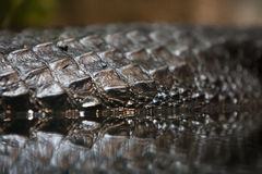 Sharkskin detail. Structure of the skin, reflection in water stock photography