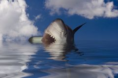 Sharksrface. Approaching Great White Shark, known as a white pointer shark royalty free stock photos