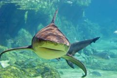 SharkStalk. Approaching Shark Royalty Free Stock Images