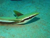 Sharksucker Image stock