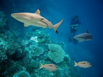 Sharkswim. Blacktip Reef Shark (Carcharhinus melanopterus) swimming over tropical coral reef stock image