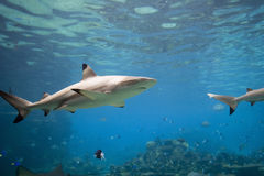SharkT. Blacktip Reef Shark (Carcharhinus melanopterus) swimming over reef Royalty Free Stock Photos