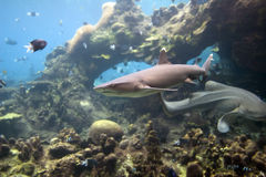 Sharkwhtip. Whitetip Reef Shark (Triaenodon obesus), swimming with coral bommie in background stock photography