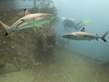 Sharkwreck. Blacktip Reef Shark (Carcharhinus melanopterus) swimming over shipwreck, scuba diver in background royalty free stock images