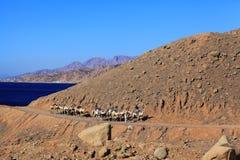"""Sharm el Sheikh, ÄGYPTEN-†""""am 15. Juni: Rolltreppenwohnwagen von Kamelen in den Bergen Stockbilder"""