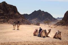 Sharm el-Sheikh, Egitto - 24 gennaio 2018: la gente che viaggia sui cammelli nel deserto dell'egitto Fotografia Stock