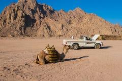 SHARM EL SHEIKH, EGYPTE - 9 JUILLET 2009 chameau dans le désert sur le fond de la voiture Photographie stock libre de droits