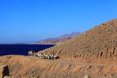 """Sharm el Sheikh EGYPTEN †""""JUNI 15: rulltrappahusvagn av kamel i bergen av Sinai blått Hall på JUNI 15, 2015 Arkivfoto"""