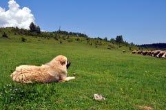 Sharmountain dog, faithful keeper of the herd. Faithful keeper of the herd - Sharmountain dog, Gora region, southern Kosovo royalty free stock photos