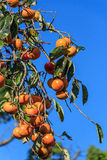 Sharon Fruits Arkivfoto