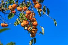 Sharon fruits Stock Photos