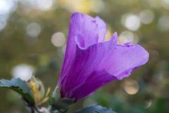 Sharon púrpura 5 foto de archivo libre de regalías