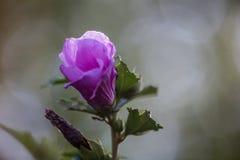 Sharon púrpura 1 imágenes de archivo libres de regalías